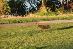 brisbane_wild_turkey