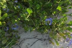 Blue_ground_flowers