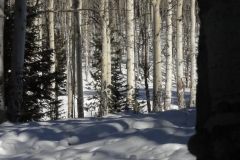 Jackal_Hut_Hike_-_Aspen_trees