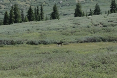 Moose_playing