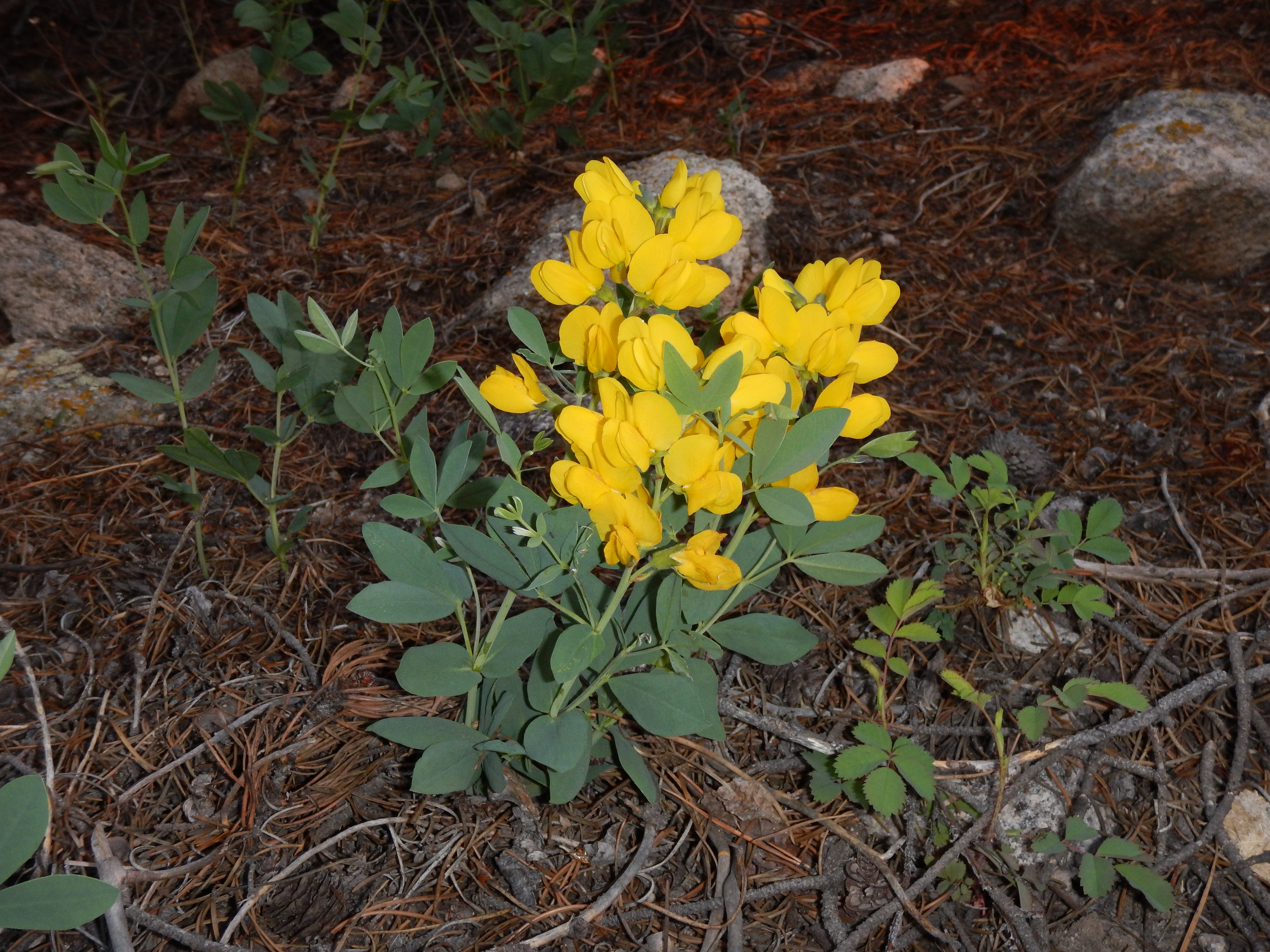 Thermopsis rhombifolia - Golden Banner