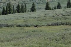 Moose_playing